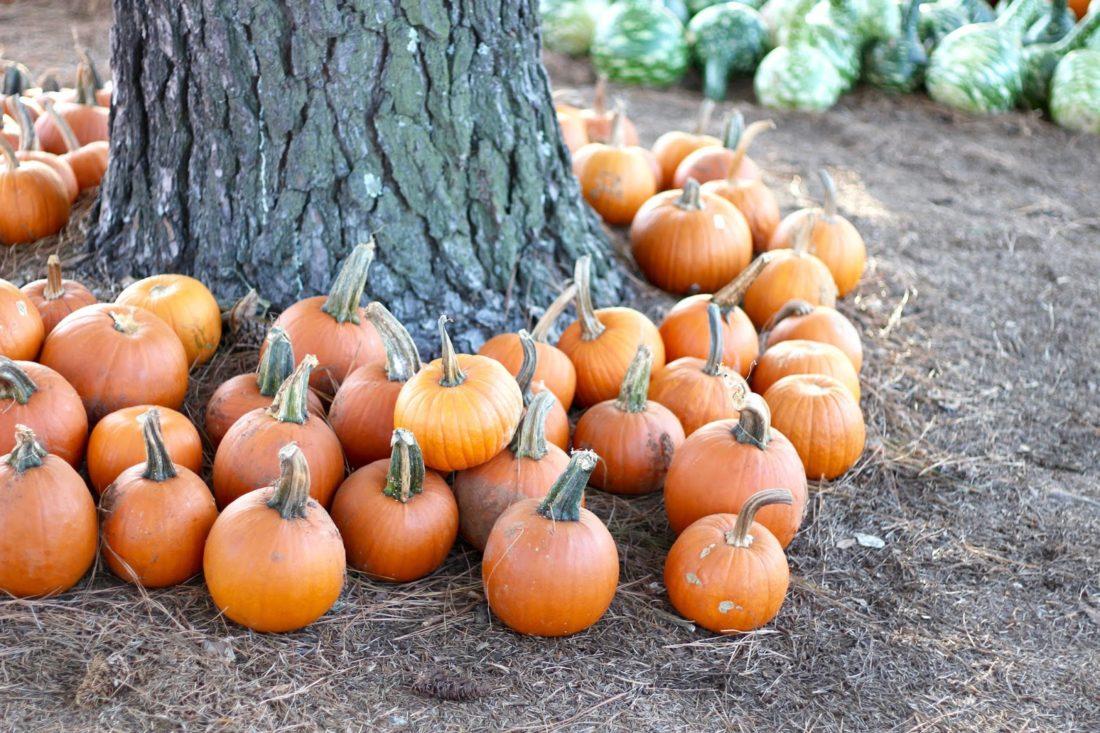 Simpson's pumpkin patch Charlotte NC